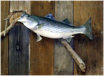 Stripped Bass Taxidermy